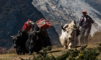 Yak will be seen as you start gaining high altitude