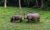 Rhinos at chitwan