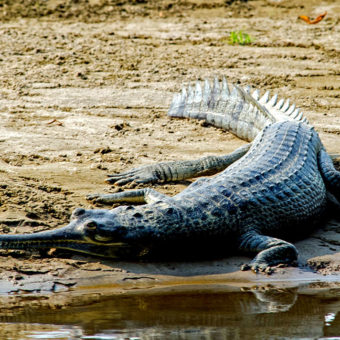 Alligator-chitwan