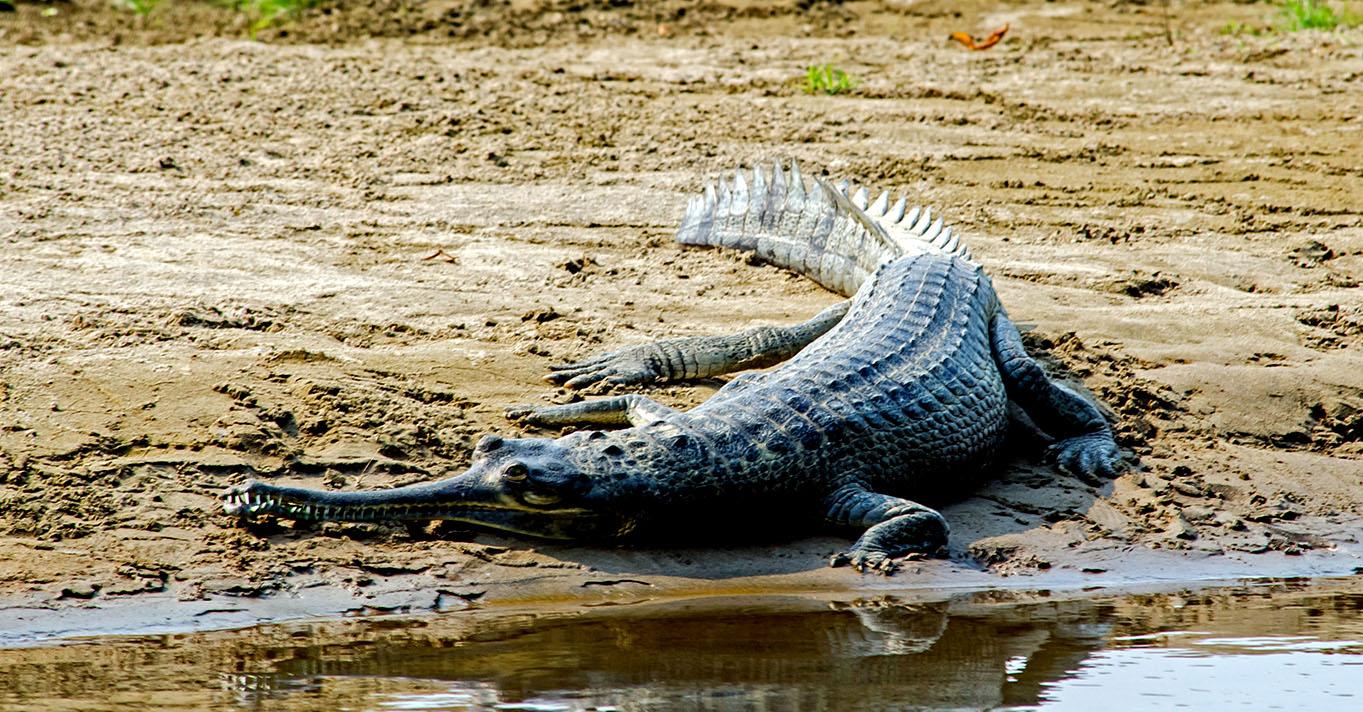 Alligator-chitwan