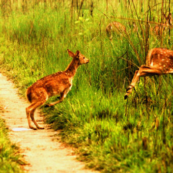 Bardiya-jungle-safari