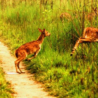 Bardiya-jungle-safari