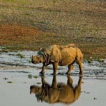 Gaida-Rhino
